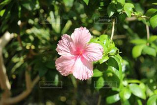 植物にピンクの花の写真・画像素材[1271886]