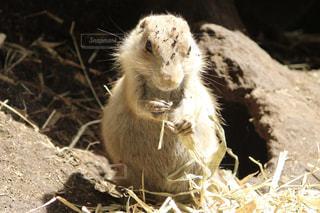 干し草の山に立っている齧歯動物の写真・画像素材[1273416]