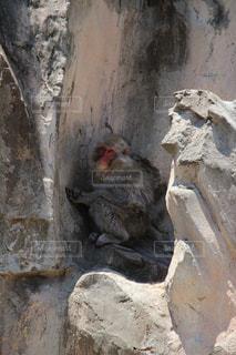 岩の上に座っている猿の写真・画像素材[1273431]