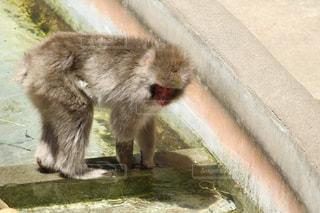 歩道に立っている猿の写真・画像素材[1273432]