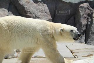 動物園のエンクロージャのシロクマの写真・画像素材[1273433]