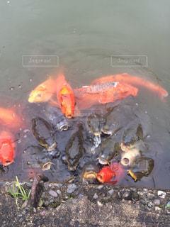 水の中のオレンジ色の魚の写真・画像素材[1290728]