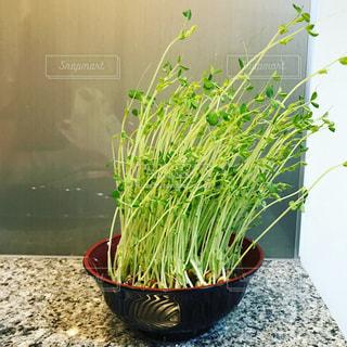 鍋に緑の植物の写真・画像素材[1066070]