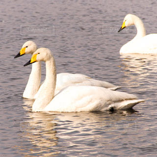 白鳥の写真・画像素材[1087518]
