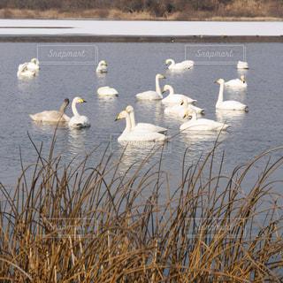 白鳥の写真・画像素材[1087520]