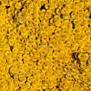 菊の写真・画像素材[1101909]