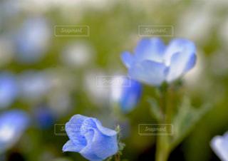ネモフィラの蕾の写真・画像素材[1154958]