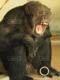 猿その口を開いての写真・画像素材[1066346]