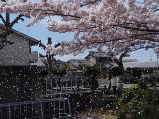 桜舞い散る中にの写真・画像素材[1070966]