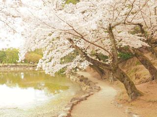 池の桜の写真・画像素材[1070969]