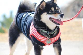 赤いひもを身に着けている犬の写真・画像素材[1067003]