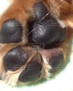 可愛い犬の肉球の写真・画像素材[1068290]