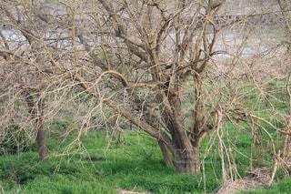 河原の大きな木 - No.1101054