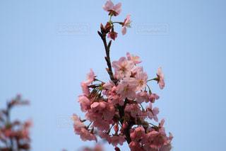 桜と空の写真・画像素材[1101055]