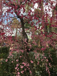 梅の花の写真・画像素材[1066936]