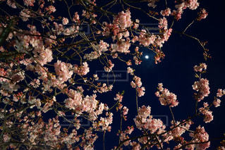 2月末の河津桜の写真・画像素材[1069975]