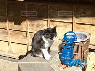 温泉街の老舗旅館の看板猫②の写真・画像素材[1068356]