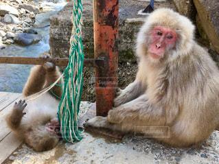 じゃれる子猿と見守る母猿の写真・画像素材[1068380]