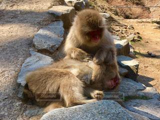 岩の上で毛繕いをする日本猿の写真・画像素材[1069913]