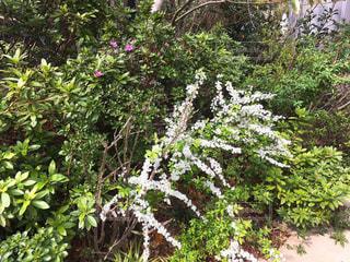 緑の植木の中の白い花の写真・画像素材[1087920]
