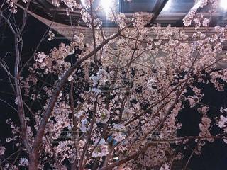 ビルの下で桜の木を見上げる - No.1088074
