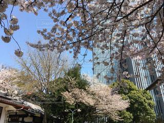 日枝神社の桜と赤坂のビルの写真・画像素材[1090980]