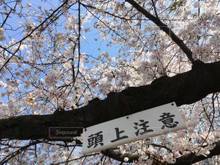 手が届きそうな桜と頭上注意の看板の写真・画像素材[1090984]