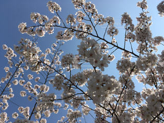 満開の桜と晴れた空の写真・画像素材[1090991]
