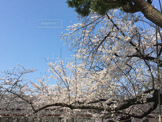 日枝神社の満開の桜の写真・画像素材[1090992]