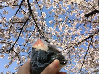 天むすおにぎりを持って桜を見に行くの写真・画像素材[1091000]