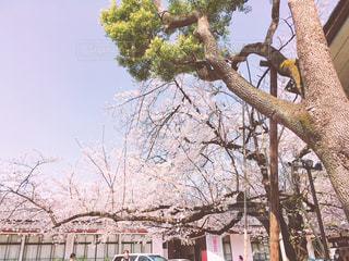 日枝神社の桜 - No.1092530