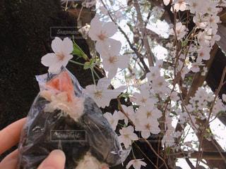 おにぎりと日枝神社の桜の写真・画像素材[1092886]
