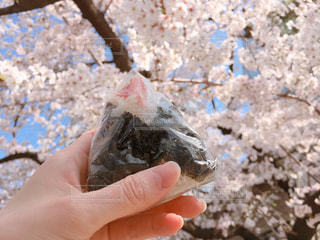 天むすおにぎりを持ってお花見の写真・画像素材[1092888]