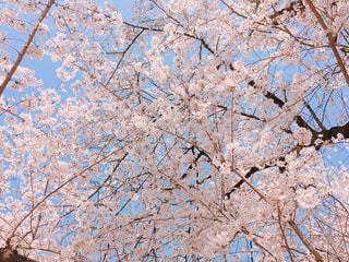 満開の桜が咲き乱れているの写真・画像素材[1092929]