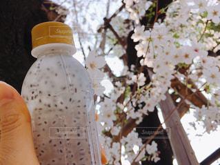 バジルシードドリンクを持ってお花見の写真・画像素材[1095918]