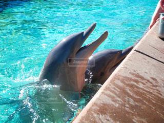 プールで泳ぐ人懐っこいイルカの写真・画像素材[1099187]