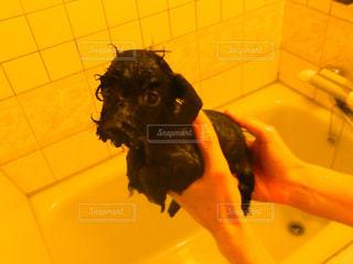 シャンプー後の黒トイプーの赤ちゃんが鶏ガラみたいの写真・画像素材[1105045]