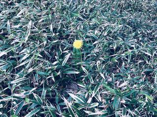 一本だけ咲くタンポポ - No.1109872