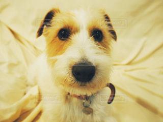 ソファの上に座っている犬の写真・画像素材[1129033]