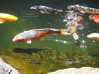 水の中の鯉の群れの写真・画像素材[1453311]