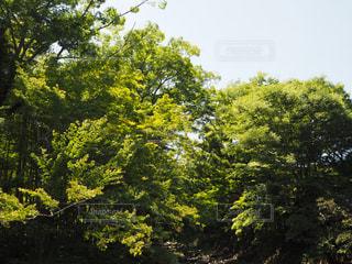 新緑ー修善寺温泉の写真・画像素材[1809875]