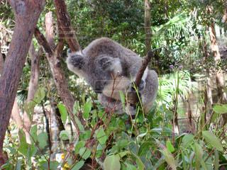 食べようか悩むコアラの写真・画像素材[1821582]