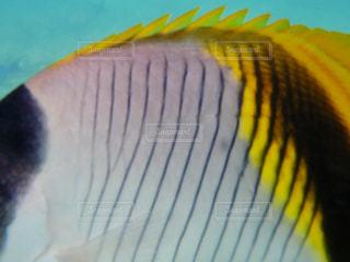 ニューカレドニアの海でチョウチョウウオドアップの写真・画像素材[1826029]