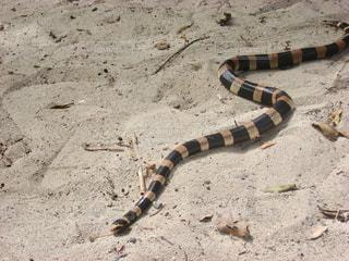 おとなしいウミヘビ/ニューカレドニアの写真・画像素材[1827666]