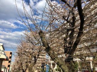宮崎台駅前桜並木/2019.3.24の写真・画像素材[1865390]