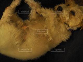まどろむジャックラッセルテリアの写真・画像素材[2010475]