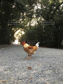 並木道と烏骨鶏 鶏の凛々しさの写真・画像素材[1086349]