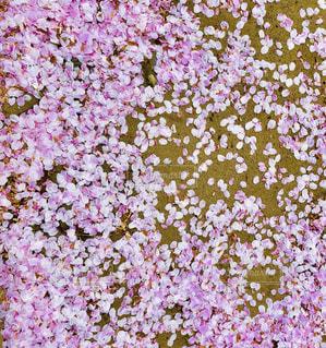 桜の写真・画像素材[1107404]