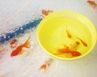 金魚すくいの写真・画像素材[1069398]