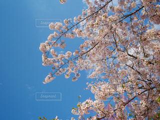 花_桜の写真・画像素材[1070325]